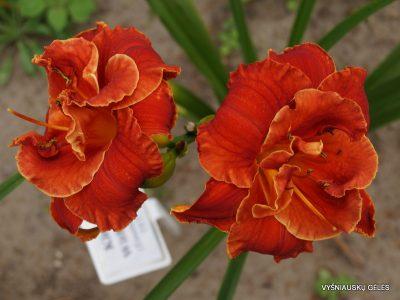 daylily 'Libby Gallion' (2)