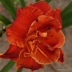 daylily 'Libby Gallion' (3)