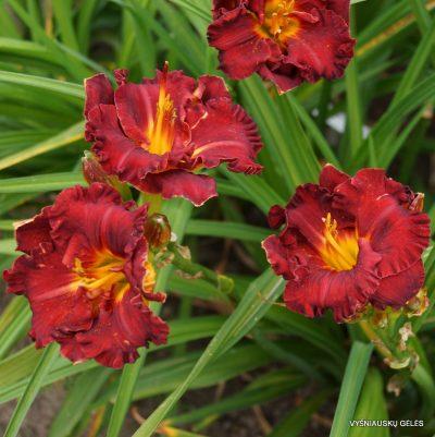 daylily 'Lil Red Wagon'