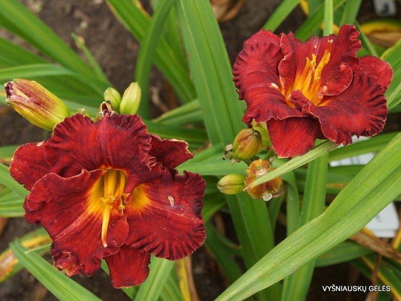 daylily 'Lil Red Wagon' (2)