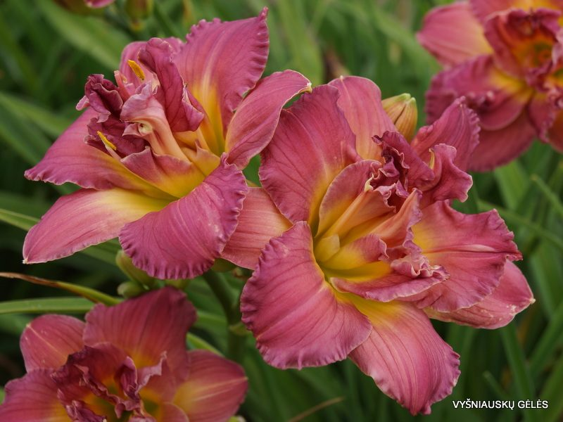 daylily 'Lilac Rose' (3)