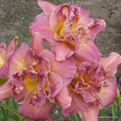 daylily 'Lilac Rose'