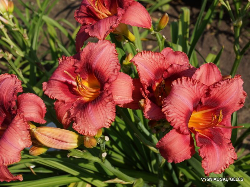 daylily 'Little Brandon' (3)