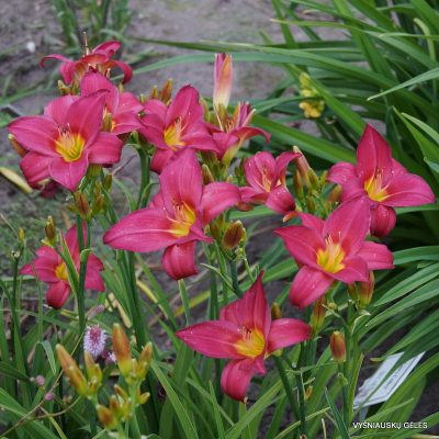 daylily 'Little Business' (2)