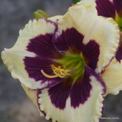 daylily 'Lucky Lucy'