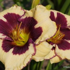 daylily 'Lucky Lucy' (3)