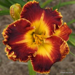 daylily 'Madly Red'