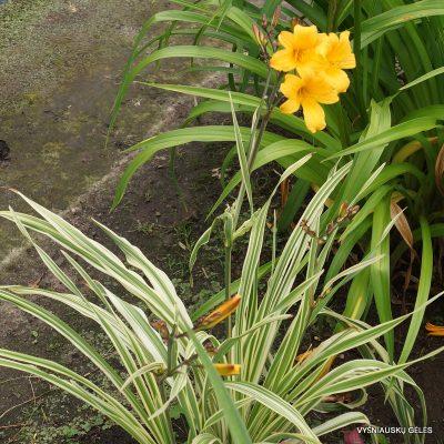 daylily 'Malja'