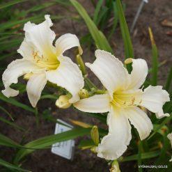 daylily 'Margo Reed Indeed'