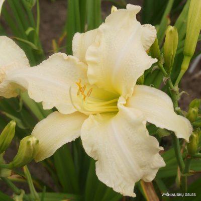 daylily 'Margo Reed Indeed' (2)