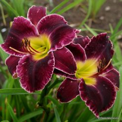daylily 'Mary's Baby'