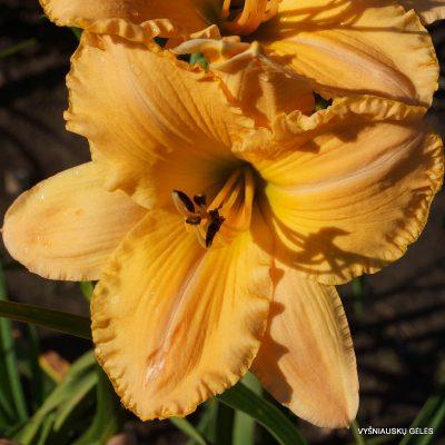 daylily 'MeMe's Garden Party' (2)