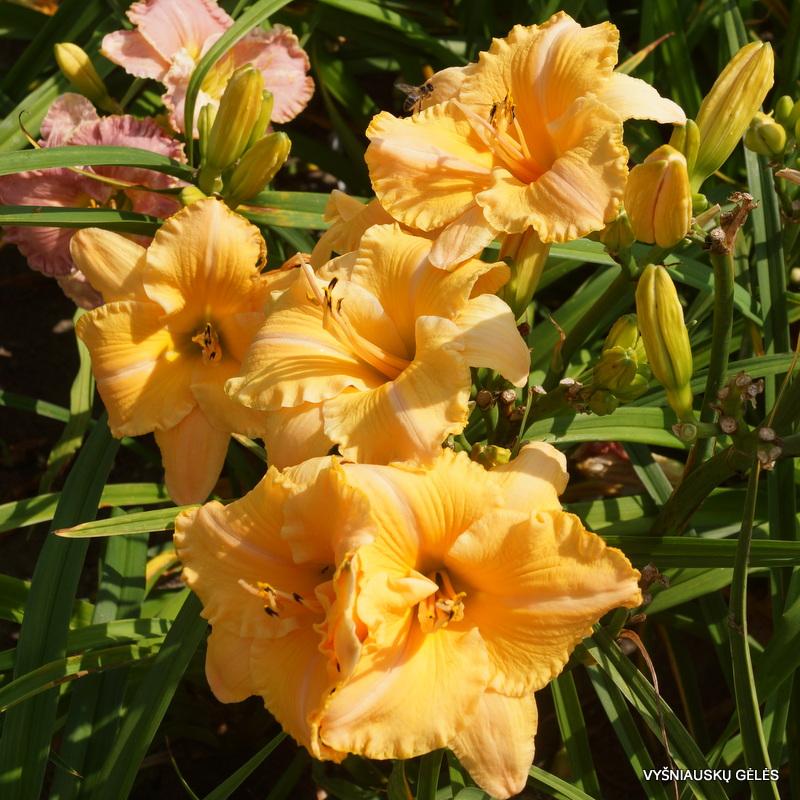 daylily 'MeMe's Garden Party' (3)
