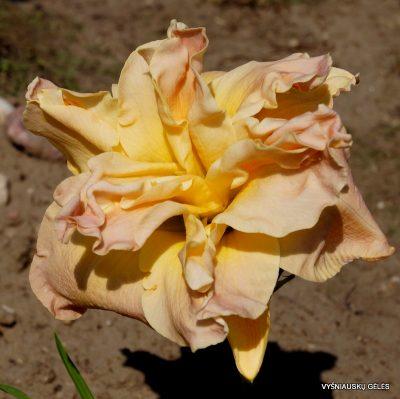 daylily 'Meringue Mirage'