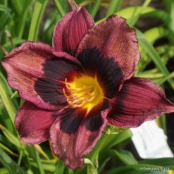 daylily 'Midnight Dynamite'