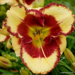 daylily 'Midsummer Eyes'