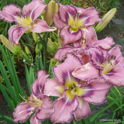 daylily 'Mildred Mitchell'