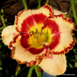daylily 'Mix and Match'