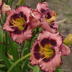 daylily 'Mountain Wildflower'