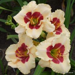 daylily 'My Lips Are Sealed'