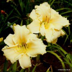 daylily 'Nature Girl'