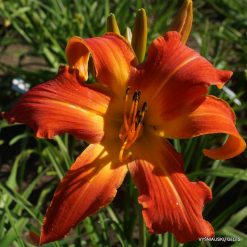 daylily 'Old Time Memories'