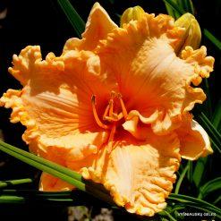 daylily 'Orange Cream'