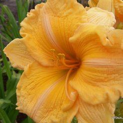 daylily 'Orange Velvet' (2)
