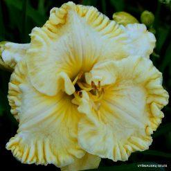 daylily 'Pleated Petticoats' (3)