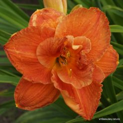 daylily 'Pumpkin and Spice'