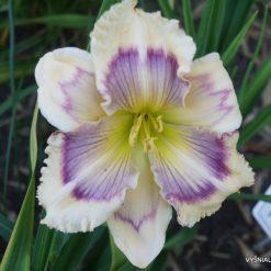 daylily 'Purple Teardrops' (2)
