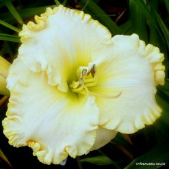 daylily 'Queen of Narnia'
