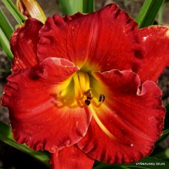 daylily 'Red Dynamite'