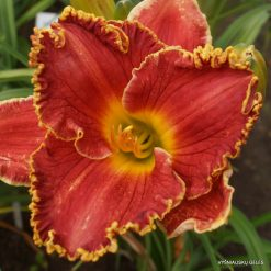 daylily 'Red Ragamuffin'