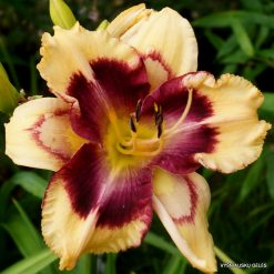 daylily 'Ride the Lightning'