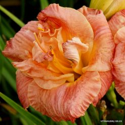 daylily 'Ring of Honor'