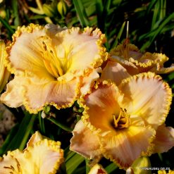 daylily 'Rose Cup'