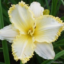 daylily 'See Me, Feel Me, Touch Me'