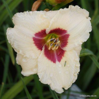 daylily 'Siloam Gumdrop' (2)