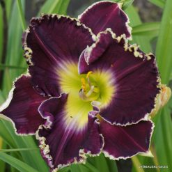 daylily 'Skin of My Teeth'