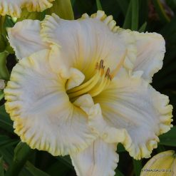 daylily 'Small World Brenden'