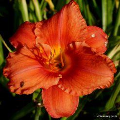 daylily 'South Seas'