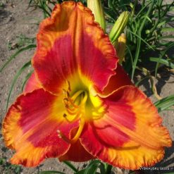 daylily 'Spacecoast Firestarter'