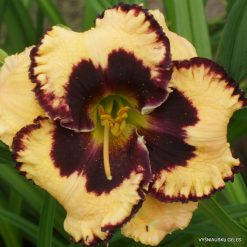 daylily 'Special Candy' (4)