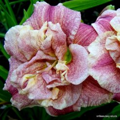daylily 'Spotted Fever'