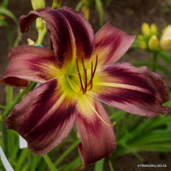 daylily 'Starman's Quest'