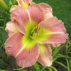 daylily 'Sugar High'