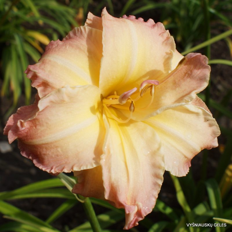 daylily 'Sweeping Shadows' (3)