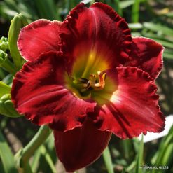 daylily 'The Heat is On'