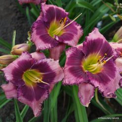 daylily 'Three Bad Pigs'